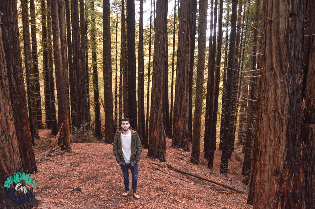 Bosque de Secuoyas en Cabezón de la Sal
