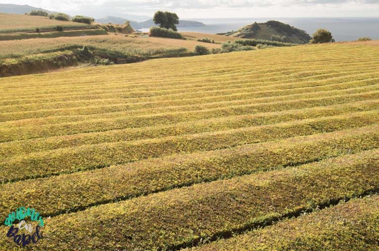 Qué ver y hacer en Sao Miguel en 7 días - Plantaciones de Té